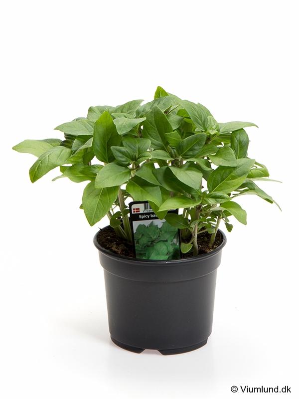 Basilikum, Spicy Basilikum 10 cm
