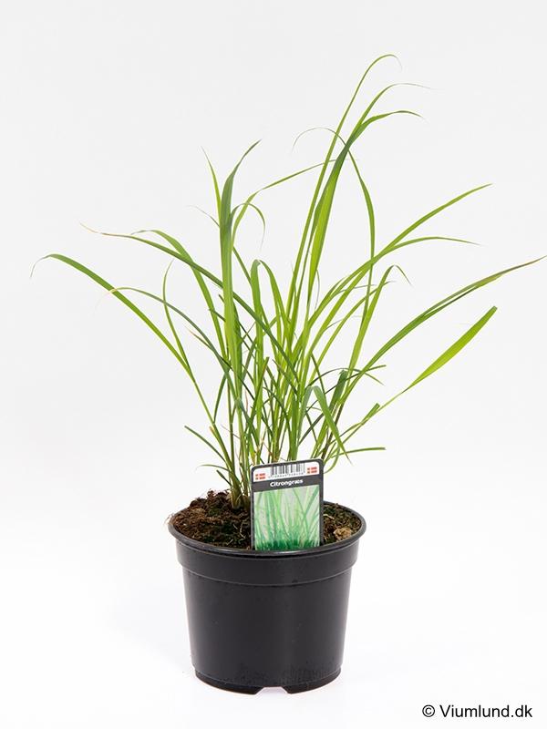 Citrongræs 10 cm
