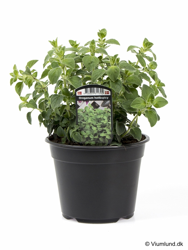 Oregano Hot & Spicy 14 cm
