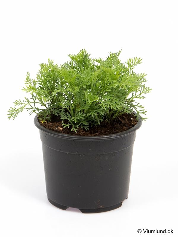 Colaplante 10 cm