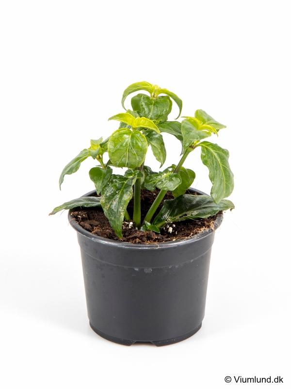 Champignonurt 14 cm