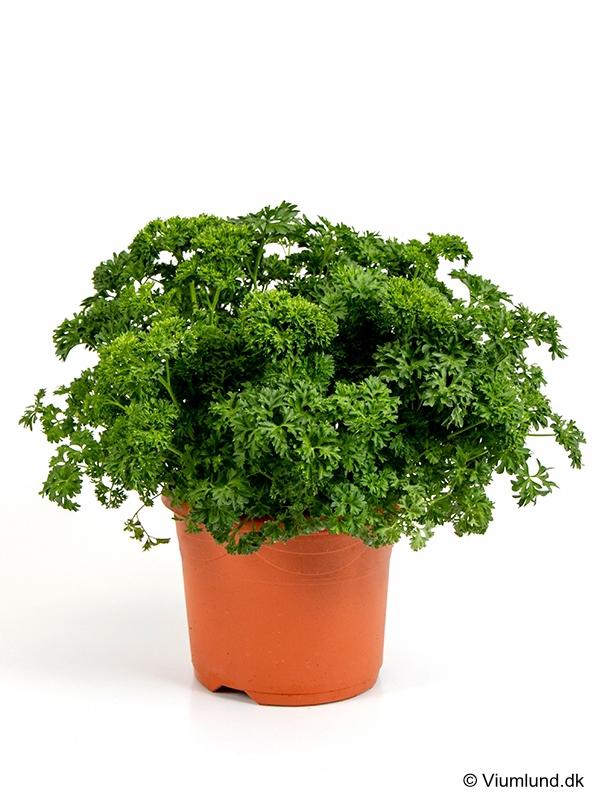 Persille, Kruspersille 19 cm
