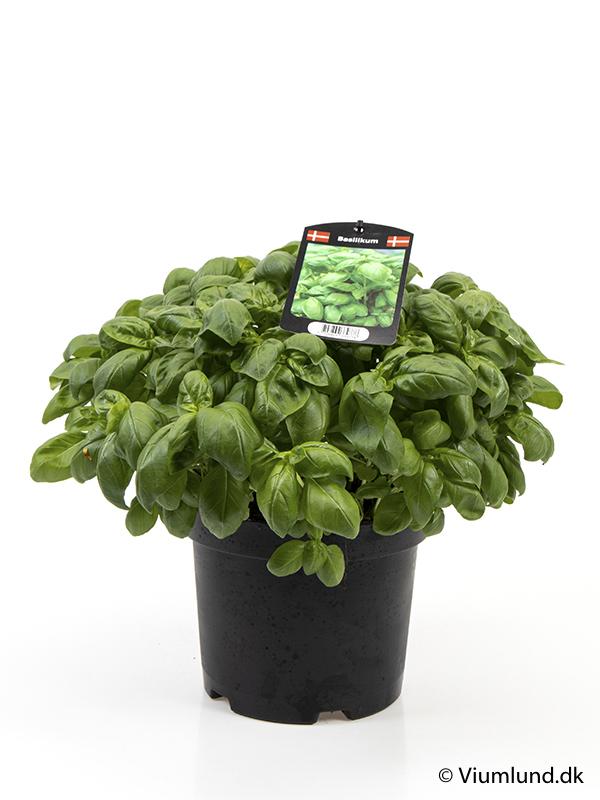 Basilikum, grøn 19 cm