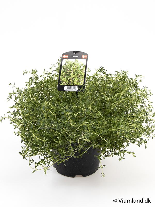 Timian 19 cm